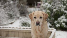雪的黄色拉布拉多 库存照片