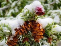 雪盖一些花旗松Pinecones 库存图片