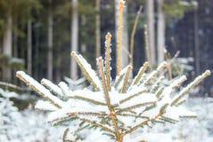 雪盖一棵杉木在森林里 库存照片