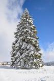 雪盖的大杉树 库存图片