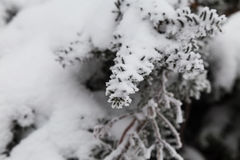 雪盖的小杉树 库存照片
