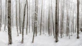 雪盖的山毛榉森林,天之前照亮的下木 ba 免版税图库摄影