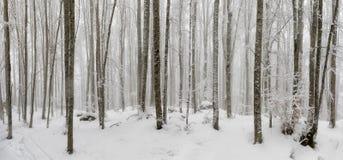 雪盖的山毛榉森林,天之前照亮的下木 ba 免版税库存图片