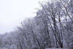 雪盖的树分支  库存图片