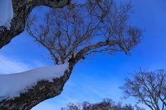 雪盖的树在蓝天背景中 图库摄影