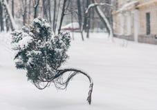 雪盖的矮小的曲线杜松树反对冬天庭院背景 免版税库存图片