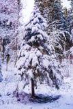 雪盖的美丽的冷杉木 免版税库存照片