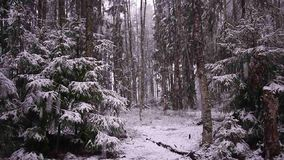 雪秋天在有树的森林里 强烈的雪立即报道森林和树枝的表面 股票录像