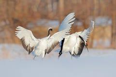 雪舞蹈本质上 从多雪的自然的野生生物场面 冷冬天 对两在雪草甸红加冠了起重机,有开放翼的 库存照片