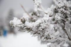 雪花盖的小杉树 免版税库存照片