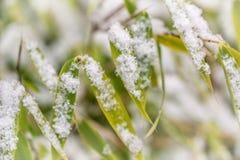 雪花细节在竹叶子的 冷淡的早晨本质降雪冬天 免版税库存图片