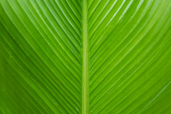 雪茄花植物或Calathea Lutea叶子 库存照片