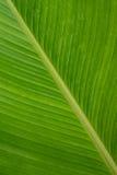 雪茄花植物或Calathea Lutea叶子 免版税库存图片