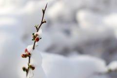 雪莓果 图库摄影