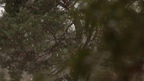 雪落在慢动作的,打旋和漂移反对云杉和杉树背景的剥落与积雪 股票录像