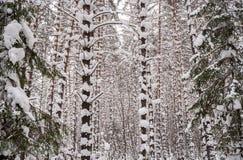 雪被堆的厚实的难贯穿的杉木森林权利的看法和 免版税库存照片