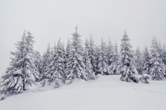 雪被蜷缩的冷杉木 免版税库存图片