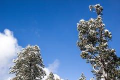 雪被装载的树在晴天 库存图片
