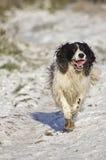 雪西班牙猎狗蹦跳的人 库存照片