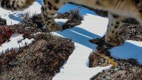 雪豹在冬天雪场面的豹属uncia 图库摄影