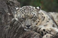 雪豹在圣路易动物园里 库存图片