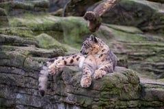 雪豹坐岩石的上面 库存照片
