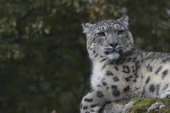 雪豹画象 库存图片