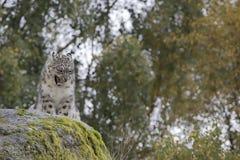 雪豹画象 免版税库存照片