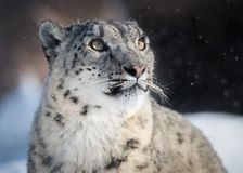 雪豹观看的雪落 免版税库存图片