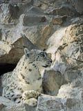 雪豹,豹属uncia 免版税图库摄影