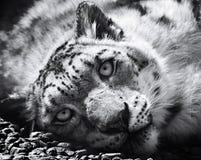 雪豹, irbis,黑白豹属uncia, uncia uncia 图库摄影