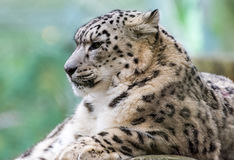 雪豹画象 库存照片