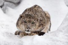 雪豹 免版税库存图片