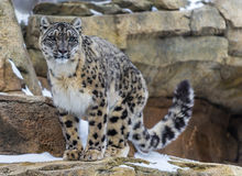 雪豹 库存图片