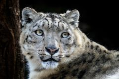 雪豹- Irbis面孔画象  库存照片