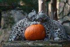 雪豹Cub第一个南瓜 免版税库存照片