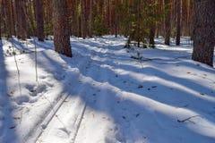 滑雪踪影在冬天杉木森林里在明亮的阳光下 免版税库存图片