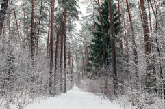 雪道在森林里 库存图片