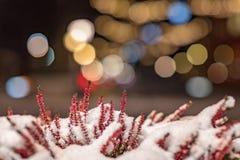 雪部分地盖的低劣的石南花花 免版税库存照片