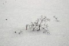 雪部分地盖的杂草 免版税库存照片
