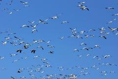 雪雁和天空 库存照片