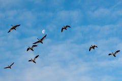 雪雁和月亮 库存图片