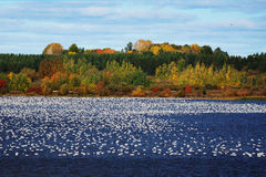 雪雁大群在水的 图库摄影