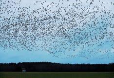 雪雁群在农田的在弗吉尼亚 库存图片