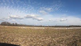 雪雁群在麦地的 股票视频