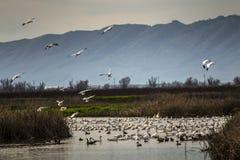 雪雁降落,萨加门多全国野生生物保护区 免版税库存照片