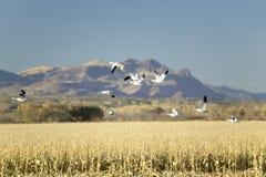 雪雁飞行在树丛del亚帕基National野生生物保护区的玉米田在日出,在圣安东尼奥和索乔尔罗附近,新我 免版税图库摄影