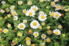 雪雏菊,与浅地的四季不断的草本 图库摄影