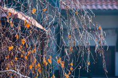 雪霜用黄色前片叶子包括桦树分支 免版税图库摄影