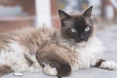 雪鞋子, ragdoll,变冷在街道照片的暹罗猫与 库存图片